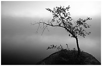 Tree in morning fog, Kabetogama lake near Woodenfrog. Voyageurs National Park, Minnesota, USA. (black and white)