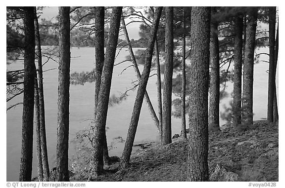 Pine trees, Woodenfrog. Voyageurs National Park (black and white)