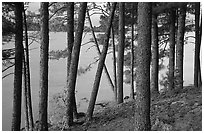 Pine trees, Woodenfrog. Voyageurs National Park, Minnesota, USA. (black and white)