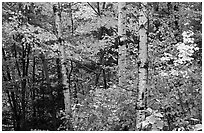 Trees in fall foliage. Voyageurs National Park, Minnesota, USA. (black and white)