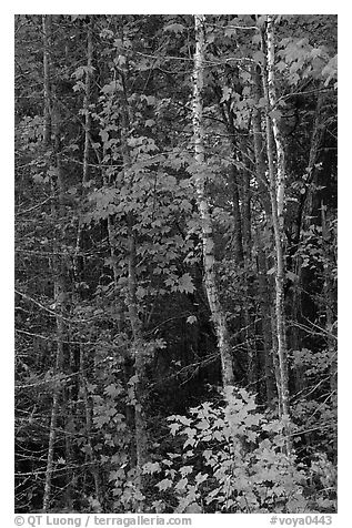 Trees in fall colors. Voyageurs National Park (black and white)