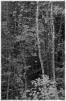 Trees in fall colors. Voyageurs National Park, Minnesota, USA. (black and white)