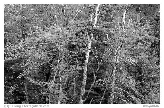 Trees in early fall color. Voyageurs National Park (black and white)