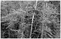 Trees in early fall color. Voyageurs National Park ( black and white)