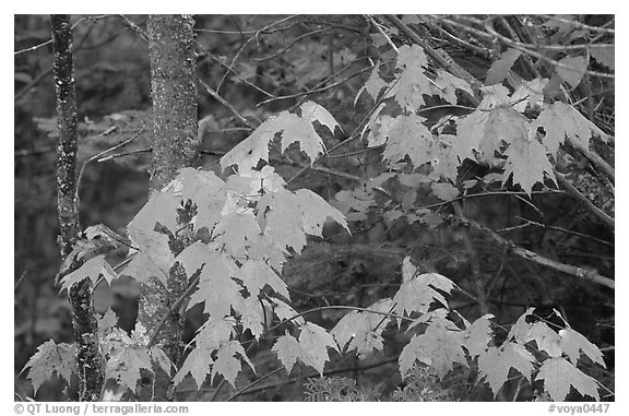 Maple leaves. Voyageurs National Park (black and white)