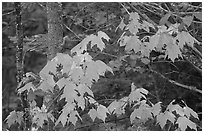 Maple leaves. Voyageurs National Park, Minnesota, USA. (black and white)