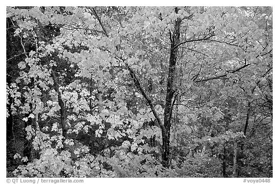 Trees in autumn foliage. Voyageurs National Park (black and white)