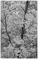 Trees in autumn color. Voyageurs National Park, Minnesota, USA. (black and white)