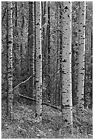 Birch tree trunks. Voyageurs National Park, Minnesota, USA. (black and white)