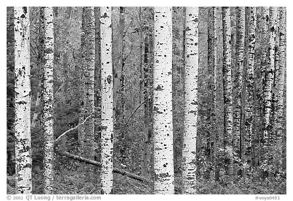 Birch tree forest. Voyageurs National Park (black and white)