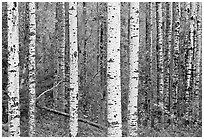 Birch tree forest. Voyageurs National Park, Minnesota, USA. (black and white)