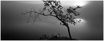Tree on foggy lakeshore with sun behind. Voyageurs National Park (Panoramic black and white)