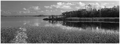 Reeds on lakeshore. Voyageurs National Park (Panoramic black and white)