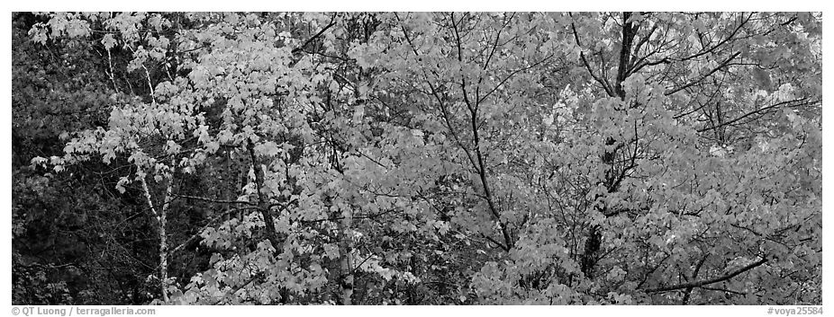 Mosaic of trees with colorful leaves in autumn. Voyageurs National Park (black and white)
