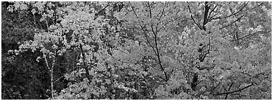 Mosaic of trees with colorful leaves in autumn. Voyageurs National Park (Panoramic black and white)