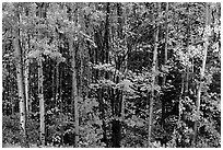 Mixed forest in autumn. Voyageurs National Park ( black and white)