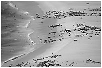 Seals and sea lions hauled out on  beach, San Miguel Island. Channel Islands National Park, California, USA. (black and white)