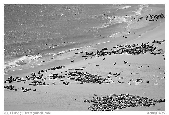 Pinnipeds hauled out on  beach, Point Bennet, San Miguel Island. Channel Islands National Park (black and white)