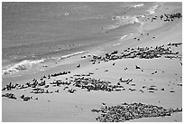 Pinnipeds hauled out on  beach, Point Bennet, San Miguel Island. Channel Islands National Park, California, USA. (black and white)