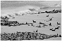 Sea lions and seals hauled out on beach, Point Bennett, San Miguel Island. Channel Islands National Park, California, USA. (black and white)