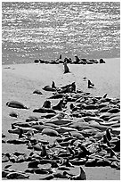 Northern fur Seal and California sea lion rookery, Point Bennet, San Miguel Island. Channel Islands National Park, California, USA. (black and white)