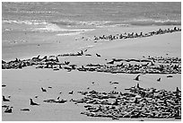 Beach with a large number of sea lions and seals, Point Bennett, San Miguel Island. Channel Islands National Park, California, USA. (black and white)