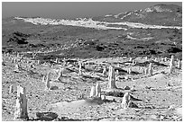 Ghost forest formed by caliche sand castings of plant roots and trunks, San Miguel Island. Channel Islands National Park, California, USA. (black and white)