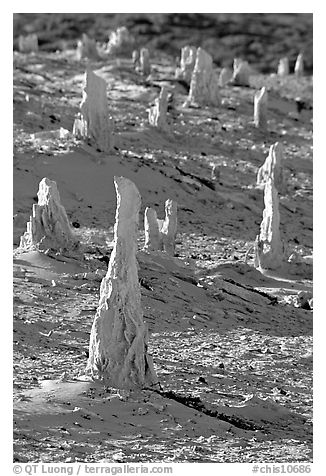 Mineral sand castings of petrified trees, San Miguel Island. Channel Islands National Park (black and white)