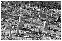 Caliche forest of petrified sand castings, San Miguel Island. Channel Islands National Park, California, USA. (black and white)