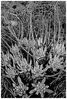 Sand Lettuce (Dudleya caespitosa) plants, San Miguel Island. Channel Islands National Park ( black and white)