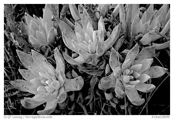 Sand Lettuce stonecrop plant, San Miguel Island. Channel Islands National Park (black and white)