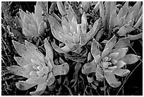 Sand Lettuce stonecrop plant, San Miguel Island. Channel Islands National Park ( black and white)
