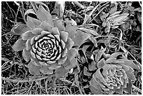 Stonecrop plants (Dudleya), San Miguel Island. Channel Islands National Park ( black and white)