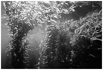 Kelp canopy beneath surface, Annacapa. Channel Islands National Park, California, USA. (black and white)