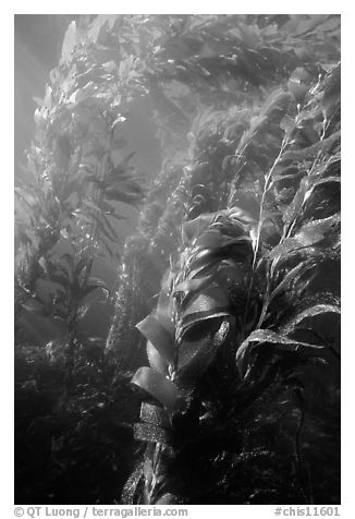 Underwater view of kelp canopy. Channel Islands National Park (black and white)