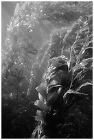 Underwater view of kelp canopy. Channel Islands National Park, California, USA. (black and white)