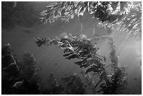 Kelp plants under ocean surface, Annacapa Marine reserve. Channel Islands National Park, California, USA. (black and white)