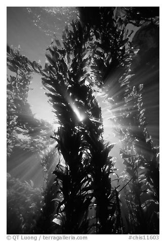 Kelp bed with sunrays,  Annacapa Marine reserve. Channel Islands National Park (black and white)