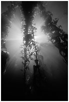 Giant Kelp and sunbeams underwater, Annacapa Marine reserve. Channel Islands National Park, California, USA. (black and white)