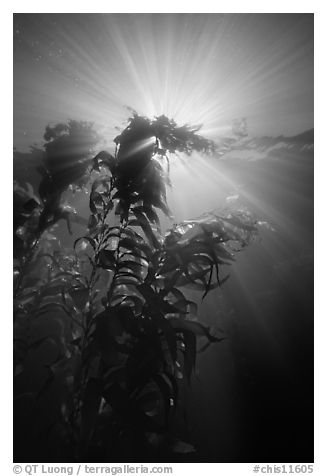 Underwater view of kelp plants with sun rays, Annacapa. Channel Islands National Park (black and white)