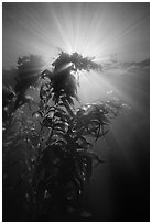 Underwater view of kelp plants with sun rays, Annacapa. Channel Islands National Park, California, USA. (black and white)