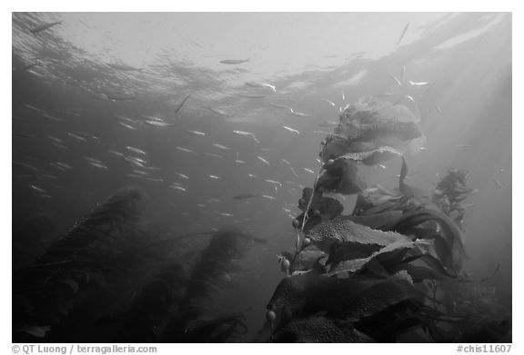 Kelp fronds and fish, Annacapa Island State Marine reserve. Channel Islands National Park (black and white)