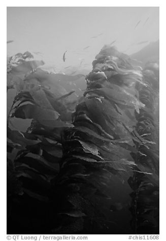 Macrocystis pyrifera (Giant Kelp), Annacapa  Marine reserve. Channel Islands National Park (black and white)