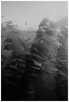 Macrocystis pyrifera (Giant Kelp), Annacapa  Marine reserve. Channel Islands National Park, California, USA. (black and white)