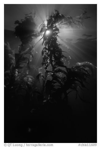 Underwater view of kelp fronds with sun beams. Channel Islands National Park (black and white)