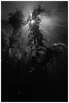 Underwater view of kelp fronds with sun beams. Channel Islands National Park, California, USA. (black and white)
