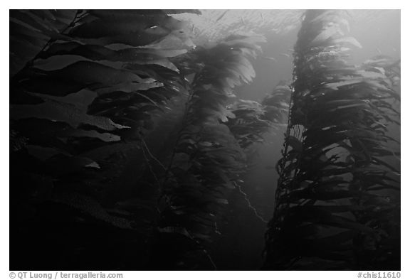 Kelp forest, Channel Islands National Marine Sanctuary. Channel Islands National Park (black and white)