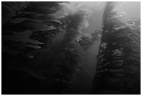 Kelp forest, Channel Islands National Marine Sanctuary. Channel Islands National Park, California, USA. (black and white)