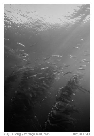 Fish and kelp, Channel Islands National Marine Sanctuary. Channel Islands National Park (black and white)