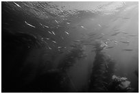 Jack mackerel school of fish in kelp forest. Channel Islands National Park, California, USA. (black and white)
